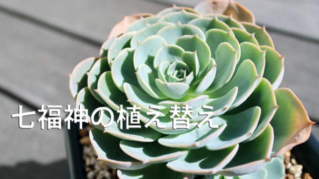 エケベリア 七福神